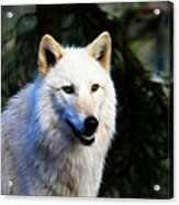 Painted White Wolf Acrylic Print