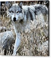 Painted Wolf Acrylic Print