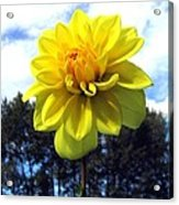 Painted Yellow Dahlia Acrylic Print
