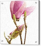 Painterly Pink Magnolia Acrylic Print