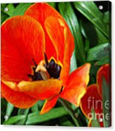 Painterly Red Tulips Acrylic Print