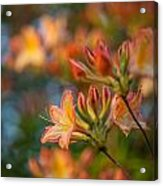 Painterly Rhodies Acrylic Print