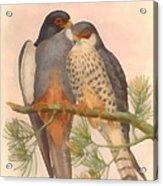Pair Amur Falcons Acrylic Print