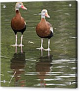 Pair Black-bellied Whistling-ducks Acrylic Print