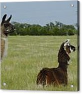 Pair Of Alpacas Acrylic Print