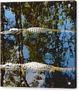 Pair Of American Alligators Acrylic Print