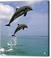 Pair Of Bottle Nose Dolphins Jumping Acrylic Print