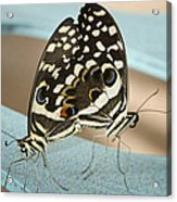Pair Of Citrus Swallowtail Butterflies  Acrylic Print