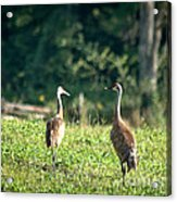 Pair Of Cranes Acrylic Print