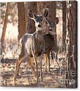 Pair Of Does Acrylic Print