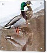 Pair Of Ducks Acrylic Print