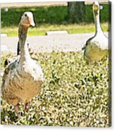 Pair Of Geese Acrylic Print by Artist and Photographer Laura Wrede