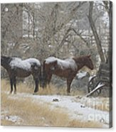 Pair Of Horses In A Snow Storm   #0559 Acrylic Print