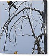 Pair Of Male Yellow-headed Blackbird   #9521 Acrylic Print