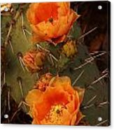 Pair Of Prickly Pear Cactus Blooms In The Sandia Foothills Acrylic Print