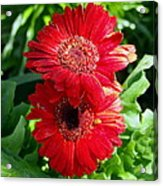 Pair Of Red Gerber Daisy Flowers With Ladybug Acrylic Print