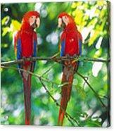 Pair Of Scarlet Macaws Acrylic Print