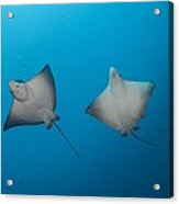 Pair Of Spotted Eagle Rays Acrylic Print