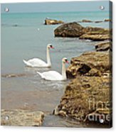 Pair Of Swans. Acrylic Print