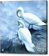 Pair Of Swans Acrylic Print