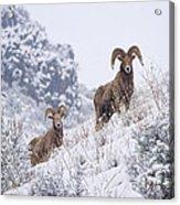 Pair Of Winter Rams Acrylic Print