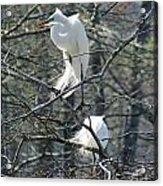 Paired Egrets At Lake Martin Louisiana Acrylic Print