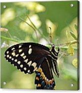 Palamedes Swallowtail Acrylic Print