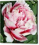 Pale And Dark Pink Peony Acrylic Print