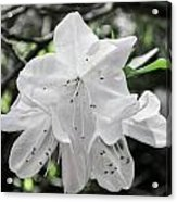 Pale Beauty Acrylic Print