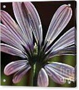 Pale Blue Flower Backlit Acrylic Print