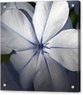 Pale Blue Plumbago Flower Close Up  Acrylic Print