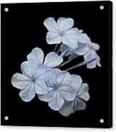 Pale Blue Plumbago Isolated On Black Background  Acrylic Print