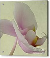 Pale Orchid On Cream Acrylic Print