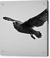 pale phase south polar skua catharacta maccormicki in flight Antarctica Acrylic Print