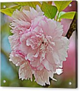 Pale Pink Blossoms Acrylic Print