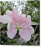 Pale Pink Crabapple Blossom Acrylic Print