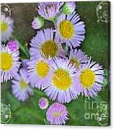 Pale Pink Fleabane Blooms With Decorations Acrylic Print