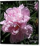 Pale Pink Peony Watercolor Effect Acrylic Print