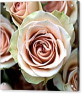 Pale Pink Roses Acrylic Print by Kathy Yates