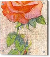Pale Rose Acrylic Print by George Adamson