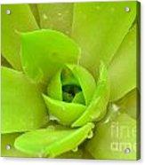 Pale Succulent Acrylic Print