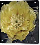 Pale Yellow Prickly Pear Bloom  Acrylic Print