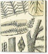 Paleozoic Flora, Calamites, Illustration Acrylic Print