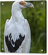 Palm-nut Vulture 2 Acrylic Print