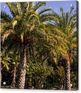 Palm Tree Acrylic Print