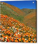 Palmdale Poppies Acrylic Print