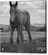 Palomino In Black And White Acrylic Print