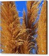Pampas Grass Acrylic Print