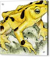 Panamanian Golden Frog Acrylic Print