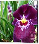 Pancy Orchid Acrylic Print